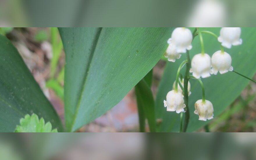 Pakalnutės žydi gegužę ir birželį, jų būna pilnos miško aikštelės. Dėl puošnių žiedų ir aromato dažnai skinama puokštėms, tačiau tai daryti galima tik gavus specialų leidimą. Pakalnutė - ir vaistinis, ir nuodingas augalas