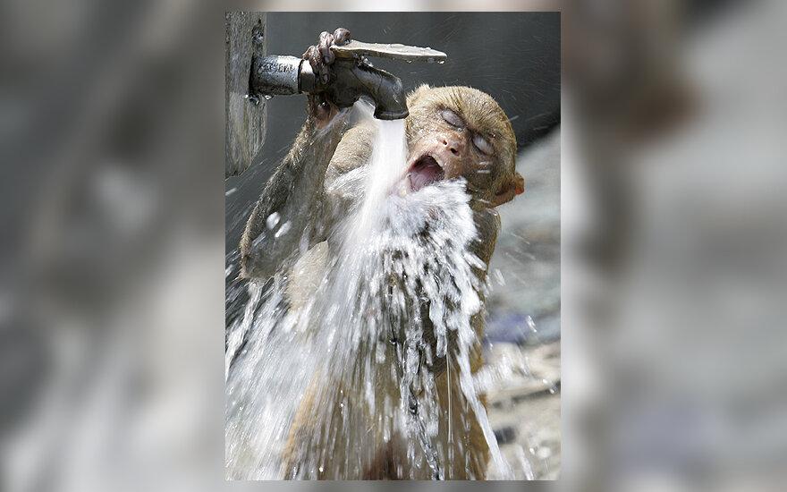 Beždžionėlė