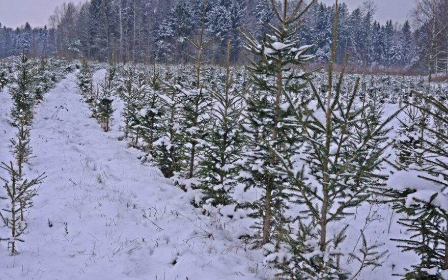 Kalėdinių eglučių plantacija