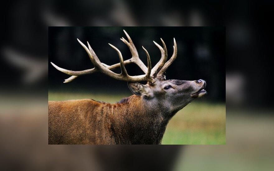 В Аникщяйском районе застрелен олень