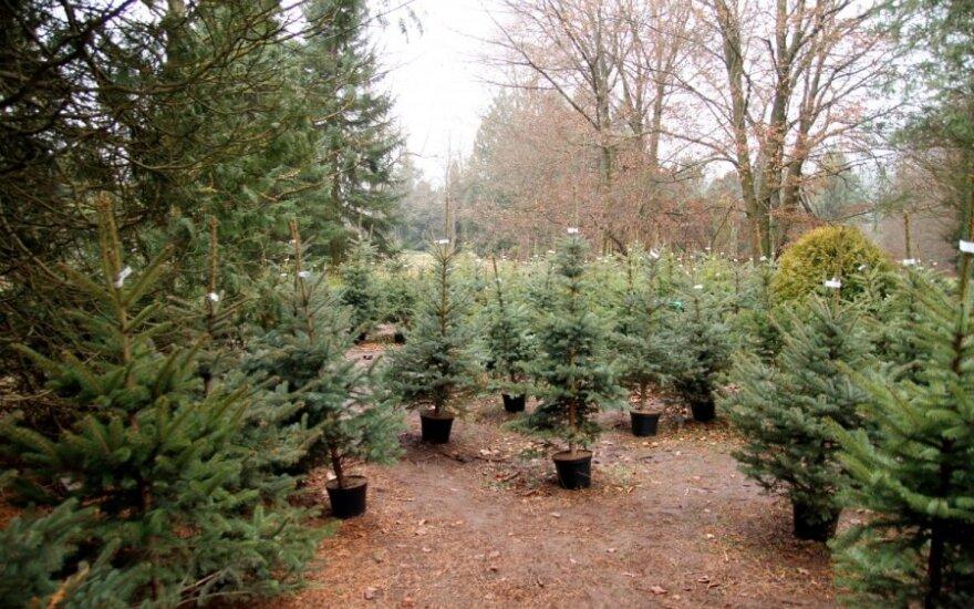Цены на елки в магазинах и питомниках: где выгоднее покупать