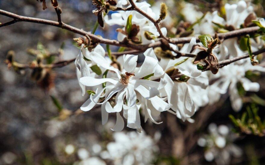 В Вильнюсском ботаническом саду отцветают магнолии