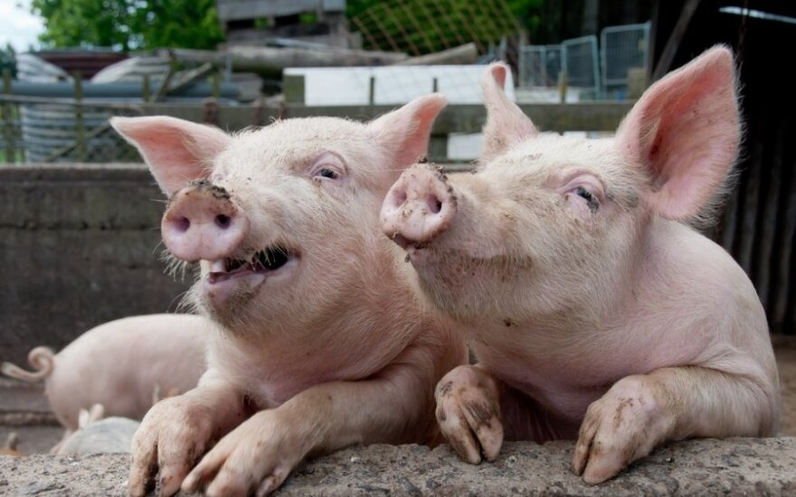 Henryk Martenka: Bo świnia musi się bawić