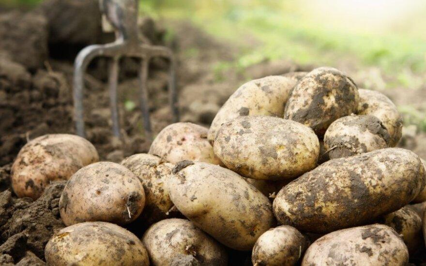 W Polsce ziemniaki, cebula i kapusta połowę tańsze niż przed rokiem