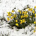 Pavasaris, sniegas