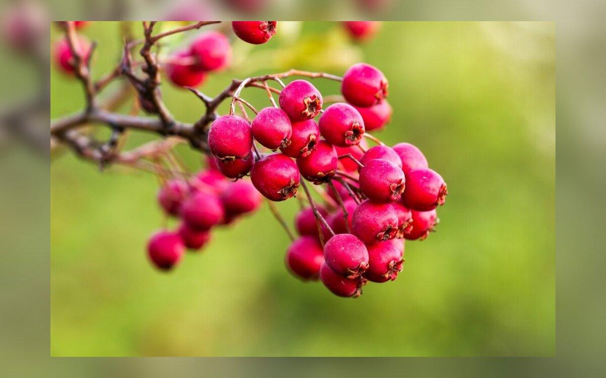 gudobelių arbatos širdies sveikata