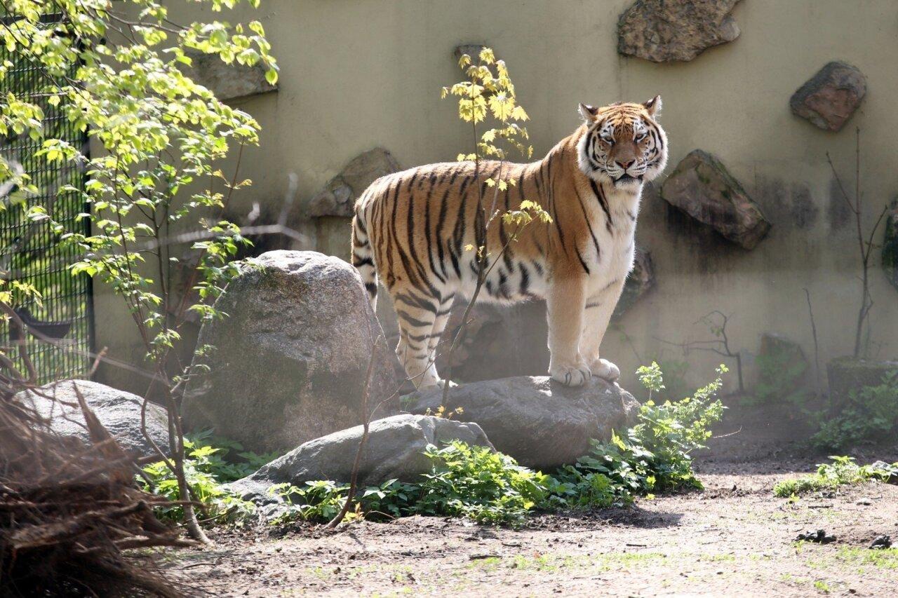 tigrų prekybos sistema