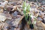 Pavasario pranašės snieguolės