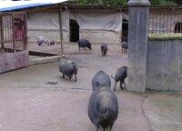Paplito socialiniuose tinkluose: Tibeto kiaulės leidžiasi iš kalnų į fermą kukurūzų