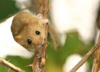 """""""National Geographic"""" akiratyje atsidūrė lietuviškosios miegapelės: žinia apie jas pasklido po visą pasaulį"""