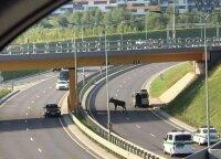 Perspėja vairuoti atsargiau – į gatves išėjo gyvūnai: vien Vilniuje suskaičiuoja šimtus partrenktų