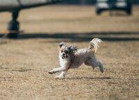 Šuns šlubavimas – pavojingos ligos pranašas: veterinaras perspėjo, kada tai gali baigtis labai liūdnai
