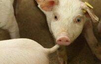 Ignalinos rajone - dar vienas kiaulių maro židinys