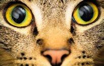 Ypač retos katės, išvaizda primenančios lietuviškas raines