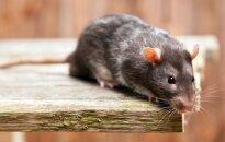 Gyvai žiurkei galvą nukandusiam australui uždrausta turėti naminių augintinių