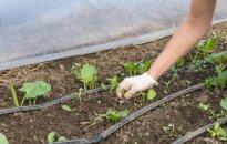 Sodo kenkėjos piktžolės: kaip jos atsirado?