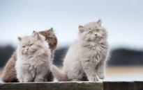 Britų ilgaplaukės katės