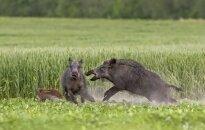 Rastos 4 afrikiniu kiaulių maru užsikrėtusių šernų gaišenos