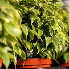 Kokie kambariniai augalai gali pakenkti Jūsų sveikatai?