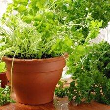 Patarimai, norintiems auginti prieskoninius augalus namuose