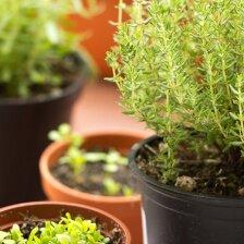 Prieskoniai, kurie šaltuoju sezonu auginami ant palangės