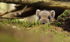 Kiaulių maras. Svarbiausi dalykai, kuriuos turime žinoti