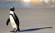 Pietinėje Anglijos saloje pastebėtas afrikinis pingvinas