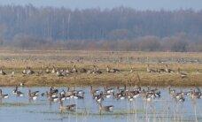 Nemuno deltoje pasirodė pirmosios urvinės antys