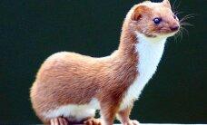 Ar pažįstate Lietuvos kiauninius gyvūnus?