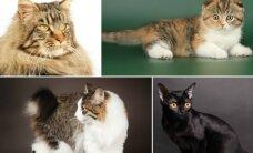 Trumpauodegės, riestaausės ir faraonų garbintos - Kaune svečiuosis viso pasaulio katės
