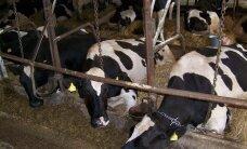 Nepatenkinti žemdirbiai žada atginti karves prie ministerijų