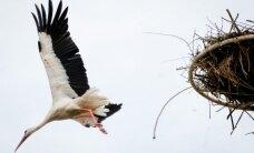 Skaičiuos elektros nutrenktus paukščius