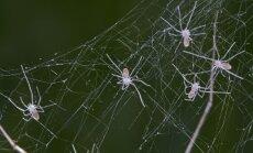 Pholcidae genties voriukai
