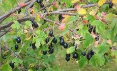 Retai auginami serbentai: kaip sulaukti gausaus derliaus
