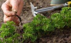 Piktžolių darže ir vejoje naikinimo būdai