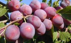Pavasaris – kaulavaisių sodinimo metas (2 sodininkų patarimai)