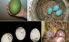 Įvairiaspalviai natūralūs paukščių kiaušiniai (Wikimedia Commons ir Flickr - backofthenapkin, J.M.Gargo, Didier Descouens  nuotr.)