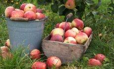 Kaip išsaugoti obuolius iki pavasario