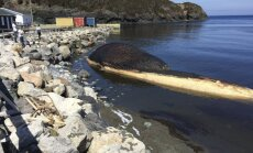 Mėlynasis banginis Trout River pakrantėje