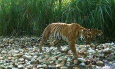 Bengališkas tigras Nepale (Nacionalinių parkų ir laukinės gyvūnijos apsaugos departamento nuotr.)