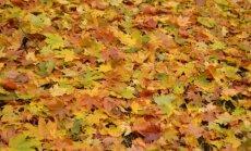 """Kaip pasigaminti rudeninių """"gėlių"""" iš klevo lapų"""