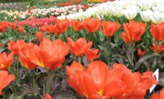 Botanikos sodo tulpės