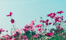 10 vienmečių gėlių, kurias geriausiai tinka auginti saulėtose vietose