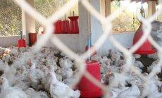 Jau kiek ūgtelėję viščiukai vištų fermoje