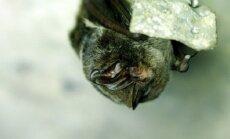 Europinis plačiaausis - vienas iš Europoje saugomų ir foryte nakvojančių šikšnosparnių