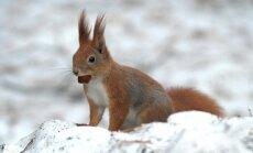 Voverė džiaugiasi artėjančiu pavasariu / G. Žilio nuotr.