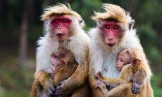 Beždžionės su jaunikliais