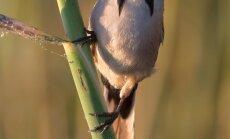 Ūsuotoji zylė - reto pažįstamas paukštis