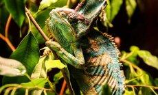 Zoologijos sode pristatytas Jemeno chameleonas