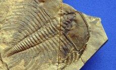 Trilobito, gyvenusio prieš 252 mln. metų, fosilija